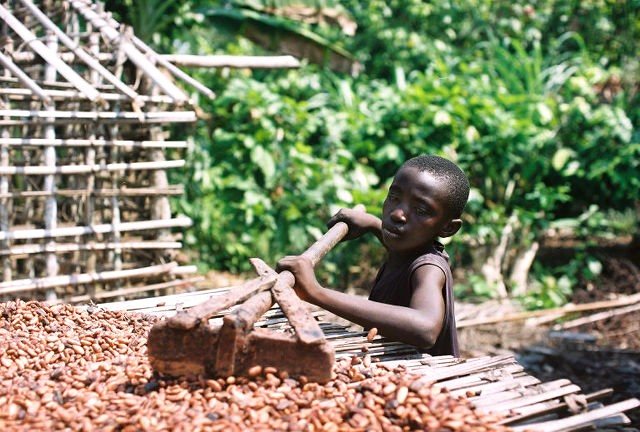 Young boy rakes cocoa beans on a drying rack.
